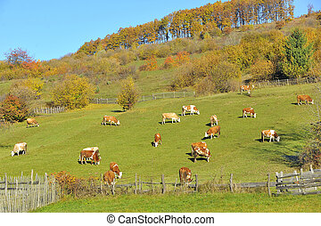 Cows feeding in a field