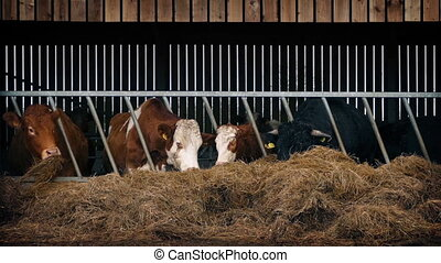 Cows Feeding In Cattle Shed - Row of cows feeding on hay...