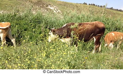 Cows for beef meat in the meadow