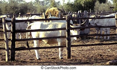 cows from maremma - Agriculture, farmland, cows