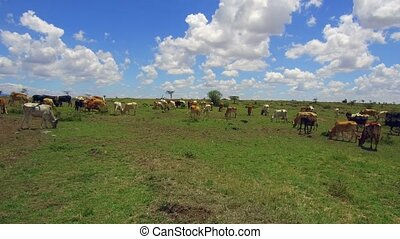 cows gazing in savanna at africa - animal, nature and...