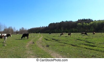 cows go on the pasture