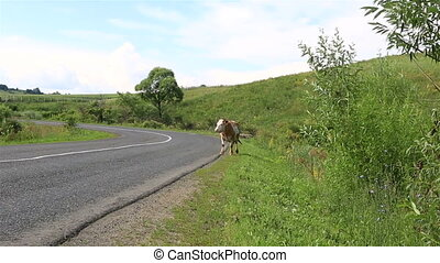 Cows go on the road. Altai Krai.