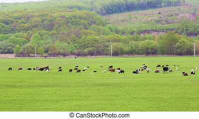 Cows graze and rest on a spring or summer meadow with fresh,...