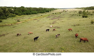 Cows graze in a meadow. Aerial
