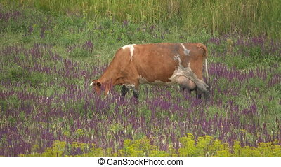 Cows graze in a meadow