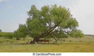 Cows graze in a meadow under a tree and lie there and rest.