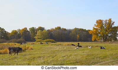 Cows graze in an autumn meadow in front of a forest on a sunny day