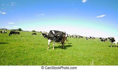 Cows graze in the green field on the pasture in sunny day,...