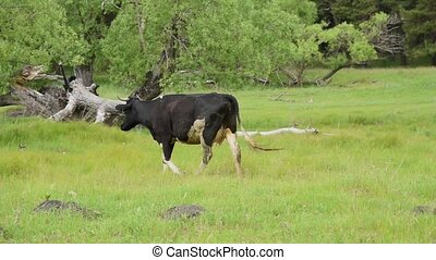 Cattle graze in the village. Cows eat grass in the pasture