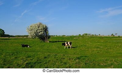 Cows graze on a meadow at summer time - Cows graze on a...