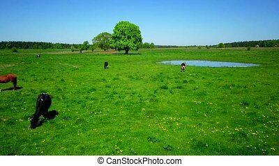 Cows graze on a meadow near the pond