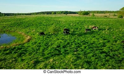 Cows graze on a meadow near the pond a beautiful sky above...