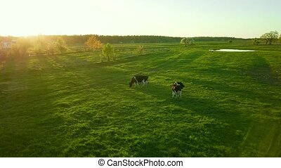 Cows graze on a meadow near the pond at sunset