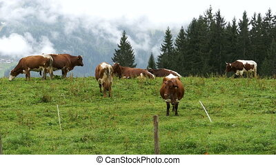 Cows Graze on a Mountain Meadow in the Background of the Alpine Mountains