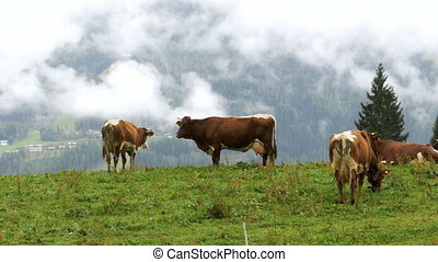 Cows graze on a Mountain Pasture in the Background of the...