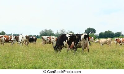 Cows on pasture in field. Domestic animals graze on meadow -...