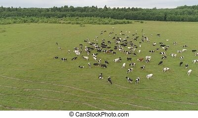 Cows graze on pasture - Aerial view cows graze on the green...