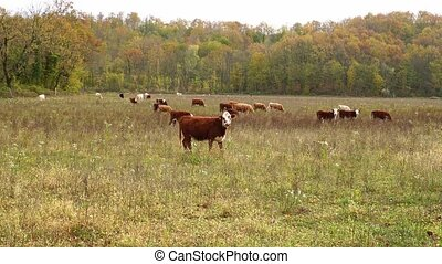 cows graze on pasture in autumn. cattle in the field. livestock and farming. natural environmental product.