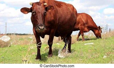 Cows graze on the field