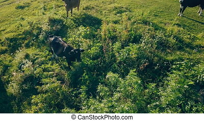 cows graze on the lawn