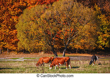 Cows graze on the outskirts of the autumn forest.