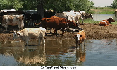 Cows graze on the river bank
