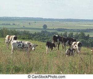 cows graze pasture meadow - Cows graze in pasture meadow and...