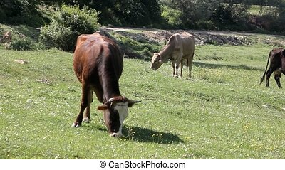 cows, grazing, луг