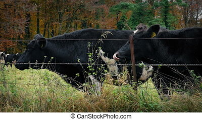 Cows Grazing By The Fence - Cows eating grass by fence on...