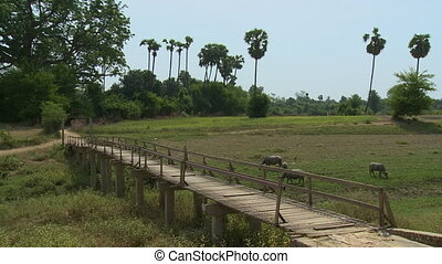 Cows grazing close to a wooden bridge on a field - A wide...