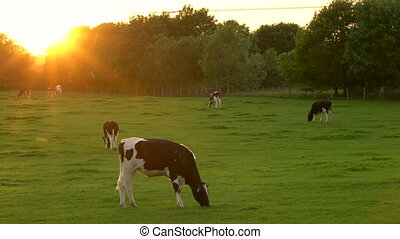 Cows grazing, eating grass in a field on a farm at sunset or sunrise