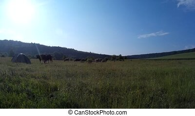 Cows grazing in a meadow 2. - Cows grazing in a meadow...
