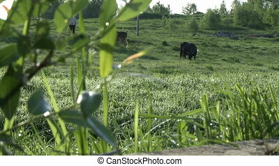Cows grazing in a meadow changing focus view