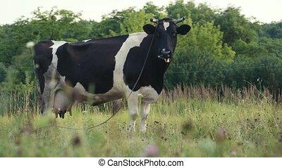 Cows grazing in a meadow. 4K