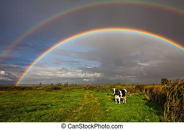 Cows grazing in the background of a beautiful double rainbow