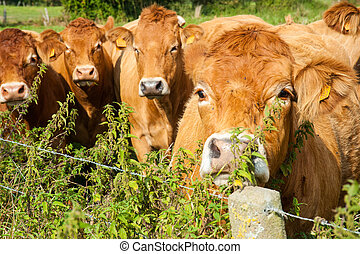 Cows grazing in the East Flemish Country Side.