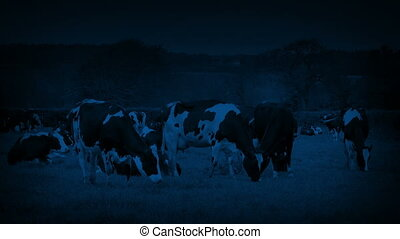 Cows Grazing In The Field At Night
