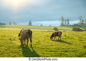 Cows grazing on a green lush meadow in the Bavarian Alps...