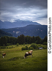 cows grazing on a meadow in the mountains.