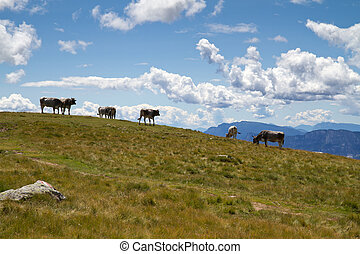 Cows grazing on a mountain pasture in Italy
