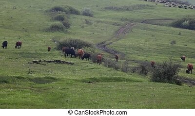 Cows grazing on a mountain plateau - pasture on a mountain...