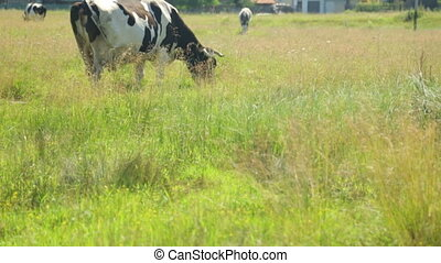 Cows grazing on field