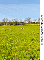 Cows grazing on fresh green mountain pastures. Animal husbandry in Switzerland, fields and meadow