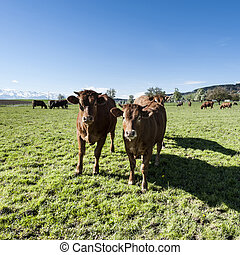 Animal husbandry in Switzerland
