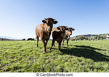 Cows grazing on fresh green mountain pastures of Alps. Animal husbandry in Switzerland, fields and meadow. The village engaged in the production of milk.