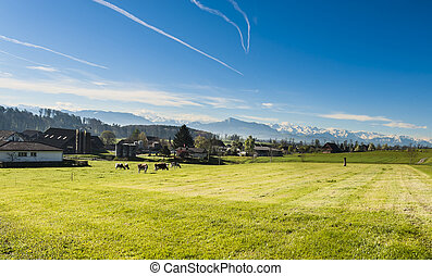 Cows grazing on fresh green mountain pastures on the background of snow-capped Alps. Animal husbandry in Switzerland, fields and meadow. The village engaged in the production of milk.