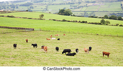 Cows grazing on Irish hillside in Northern Ireland