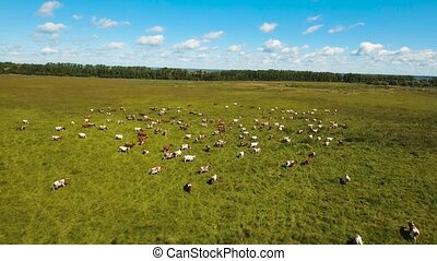Cows grazing on pasture - Aerial view cows graze on a green...