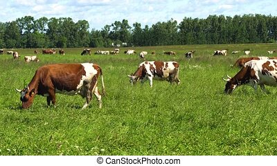 Cows grazing on pasture